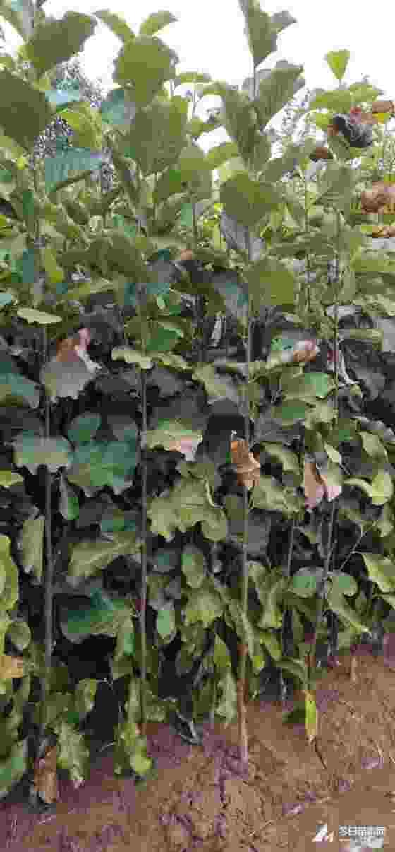 紫玉兰小苗价格 冠幅50公分紫玉兰苗多少钱一颗
