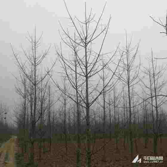 8公分榉树价格 江西9公分榉树多少钱一棵