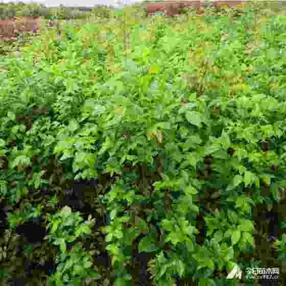 江西樸樹市場價 樸樹小苗多少錢一棵
