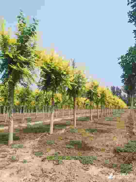 8公分金叶榆哪里有 基地金叶榆批发
