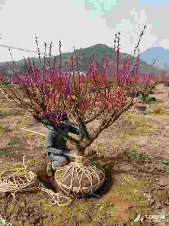 大紅梅批發價格 18公分20公分紅梅樹多少錢一棵