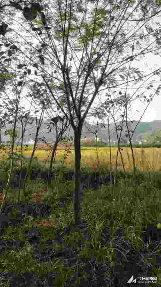 合歡綠化樹批發 10公分12公分合歡價格