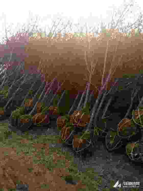 批發紅寶石海棠 8-10公分紅寶石海棠價格