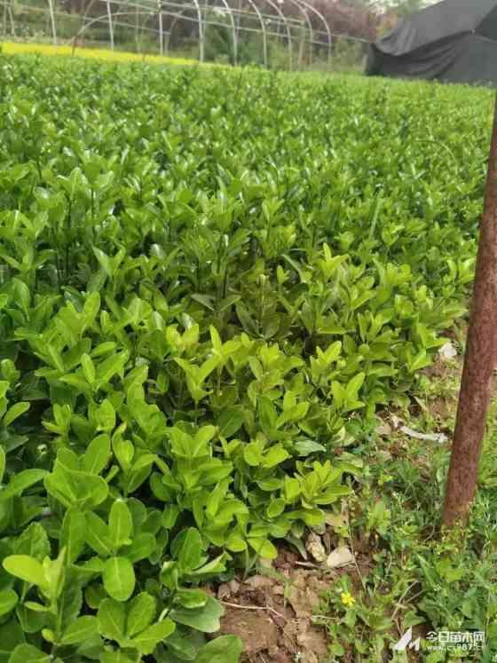 高15公分大葉黃楊床苗價格多少錢