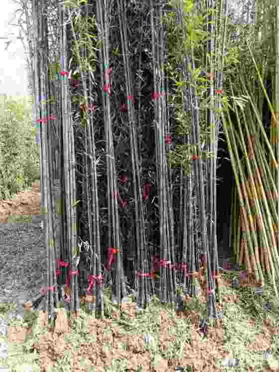 3公分紫竹价格 基地4公分紫竹多少钱一棵