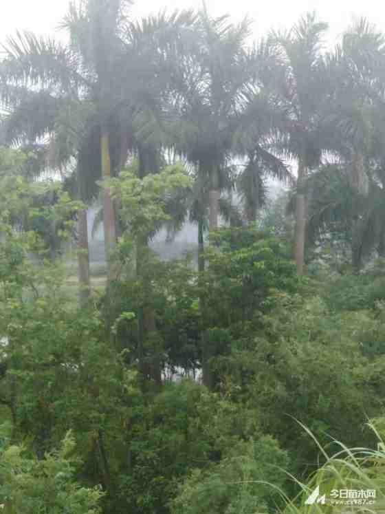 棕櫚樹價格 1米高棕櫚樹多少錢一棵