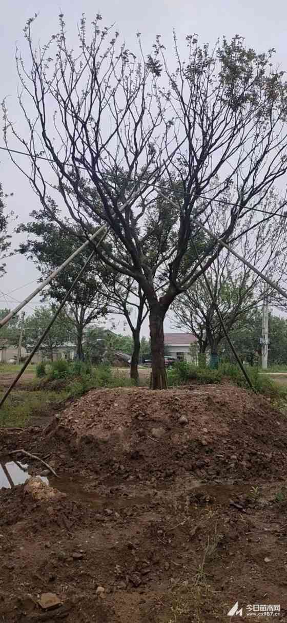 25公分樸樹賣多少錢 安徽樸樹基地報價