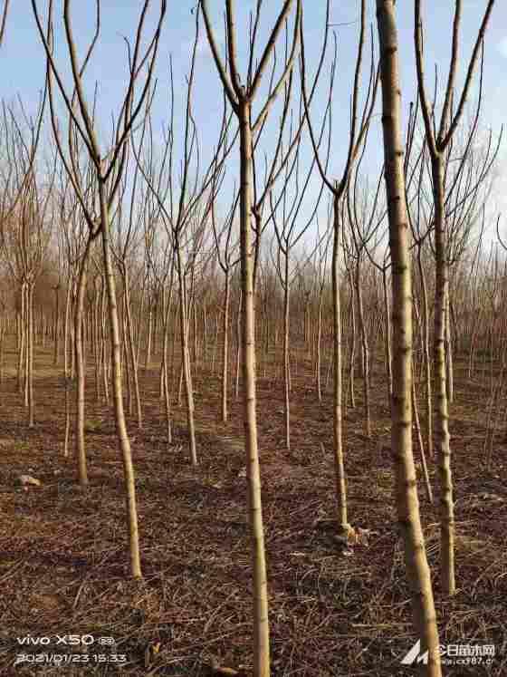 火炬树工程苗价格  火炬树种植 前景