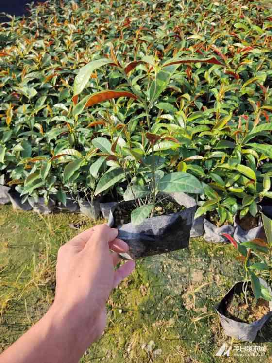35公分红背桂多少钱一棵  红背桂种植前景
