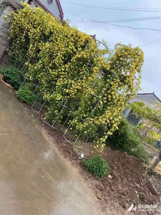 高80公分月季树价格   月季树基地批发