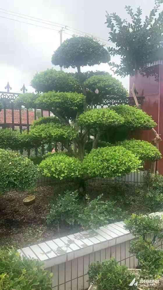 2~3米高造型瓜子黄杨出售价格  造型瓜子黄杨基地批发