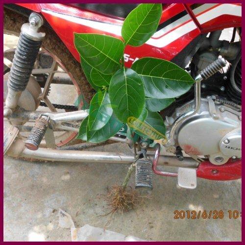 供应菠萝蜜苗 马来西亚一号菠萝蜜苗 泰国红肉菠萝蜜苗 干苞 湿苞等等