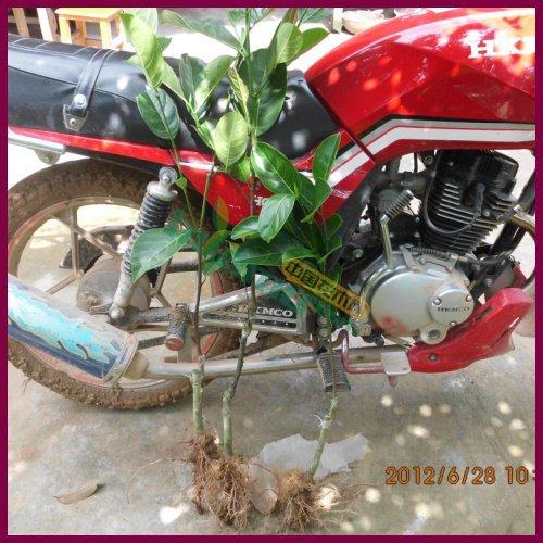 供应菠萝蜜苗 马来西亚一号菠萝蜜苗
