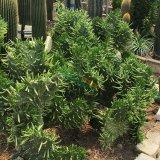 承接特色园林绿化工程 大型将军柱缀化 圆筒仙人掌属