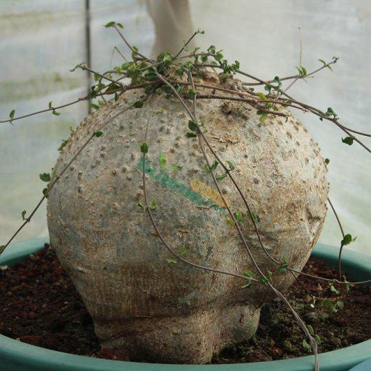 珍貴稀有Fockea edulis 火星人屬 肉質塊根植物種植基地