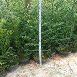 红豆杉盆栽小苗
