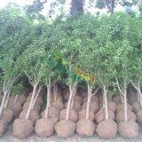 批发石榴树