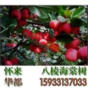 八棱海棠 3米高八棱海棠苗