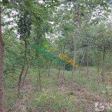 米径4公分五角枫五角槭色木槭
