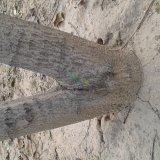 7年核桃树