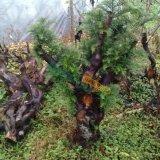 红豆杉下山树桩