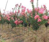 四川大红花紫薇2-3公分实生定杆苗
