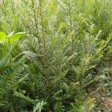 红豆杉2年苗