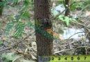地径2公分红豆杉