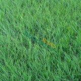 高养茅草坪