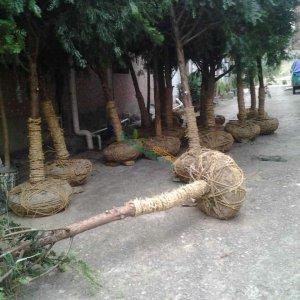 13公分红豆杉种植树