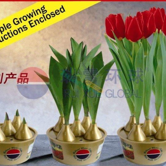 荷蘭水培禮品花卉郁金香