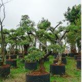 清香木景观树