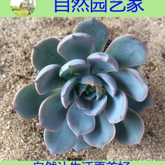 春季特價批發多肉植物藍石蓮