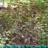 红国王挪威槭