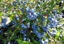 30-50公分蓝莓苗