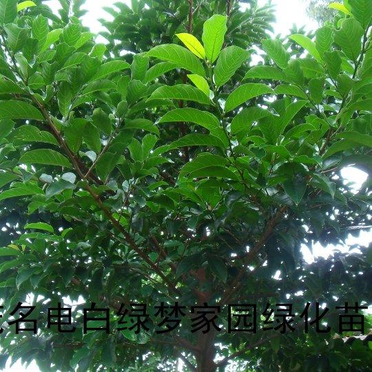 桂木,大葉胭脂小苗