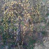 迎春花树桩