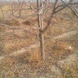 苹果树 苗