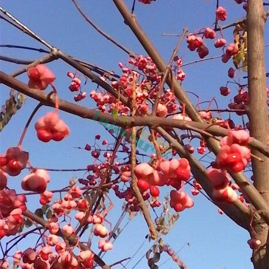 衛矛絲綿木