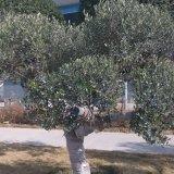 油橄榄地中海苗木