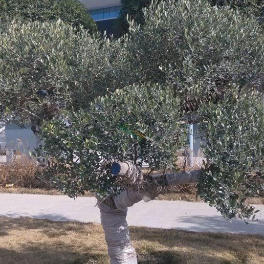 油橄榄景观树