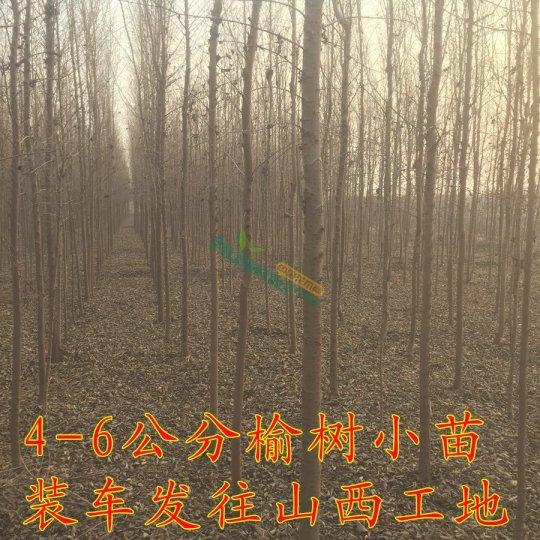 5公分榆树