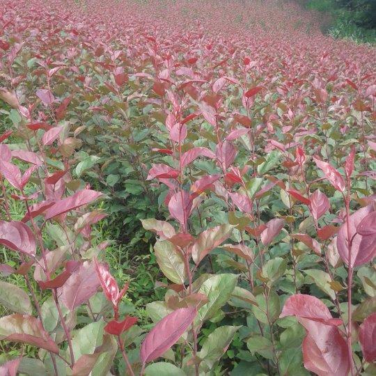 新疆红叶海棠
