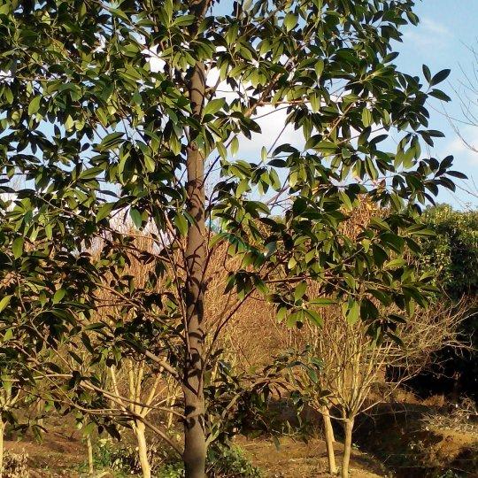 樂東擬單性木蘭