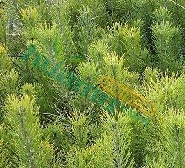 樟子松樹苗60公分和130公分