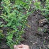 贵州刺梨多少钱 刺梨苗基地价格