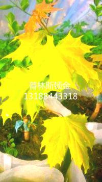 普林斯顿黄金枫