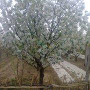 八棱海棠树苗