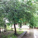 30年腊梅花树