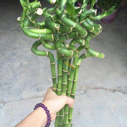 批發富貴竹、水培植物、室內觀葉植物